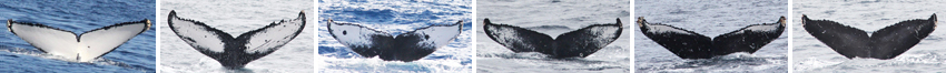 Identifying individuals by their flukes (a whale's tail)